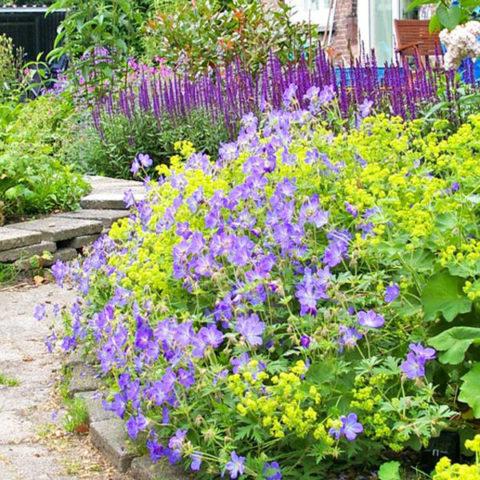 makkelijke en sterke planten vrouwenmantel geranium