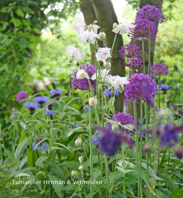 allium en akelei in een natuurlijke en romantische bloementuin