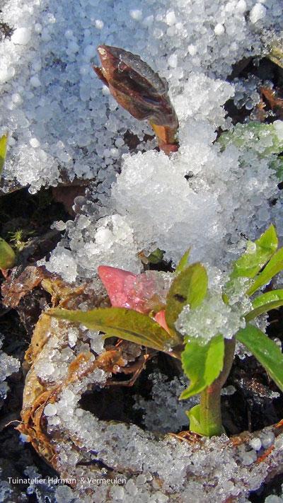 helleborus knoppen in de sneeuw