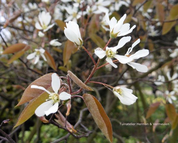 krenteboompje amelanchier lentebloeier