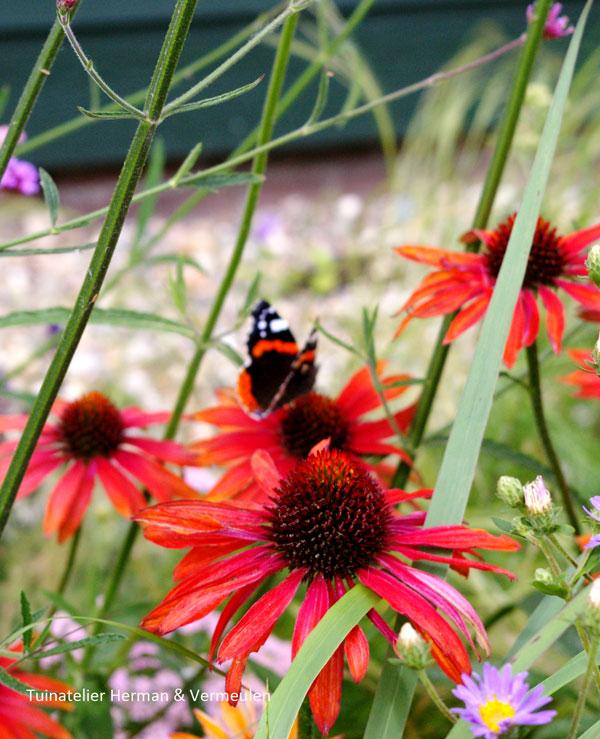 prairie planten echinacae