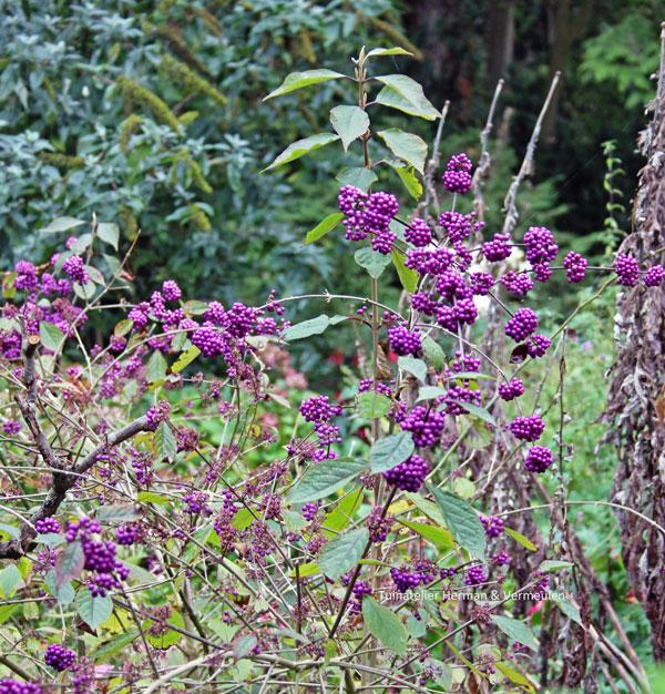 callicarpa mooi in de herfst